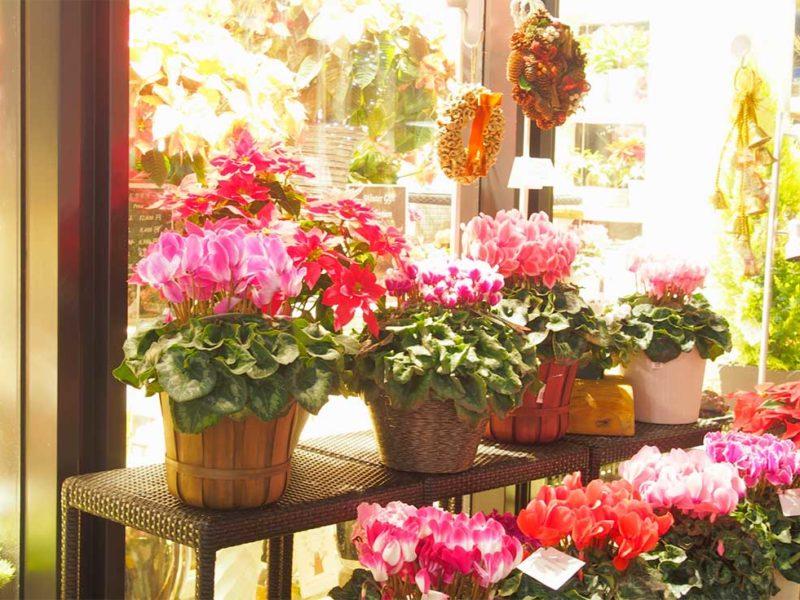Piante di ciclamino in vendita da Le fioraie, fiorista a Milano centro