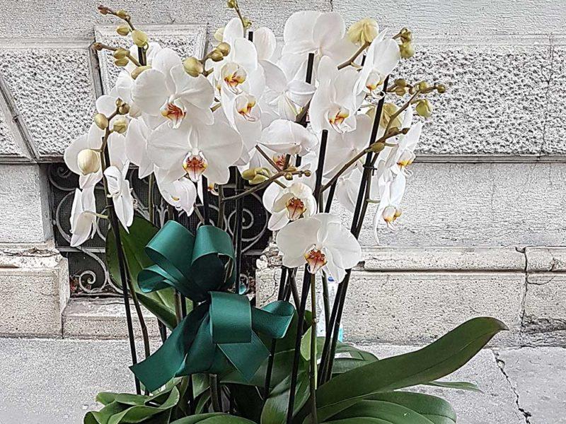 Orchidea i segreti per mantenerla al meglio